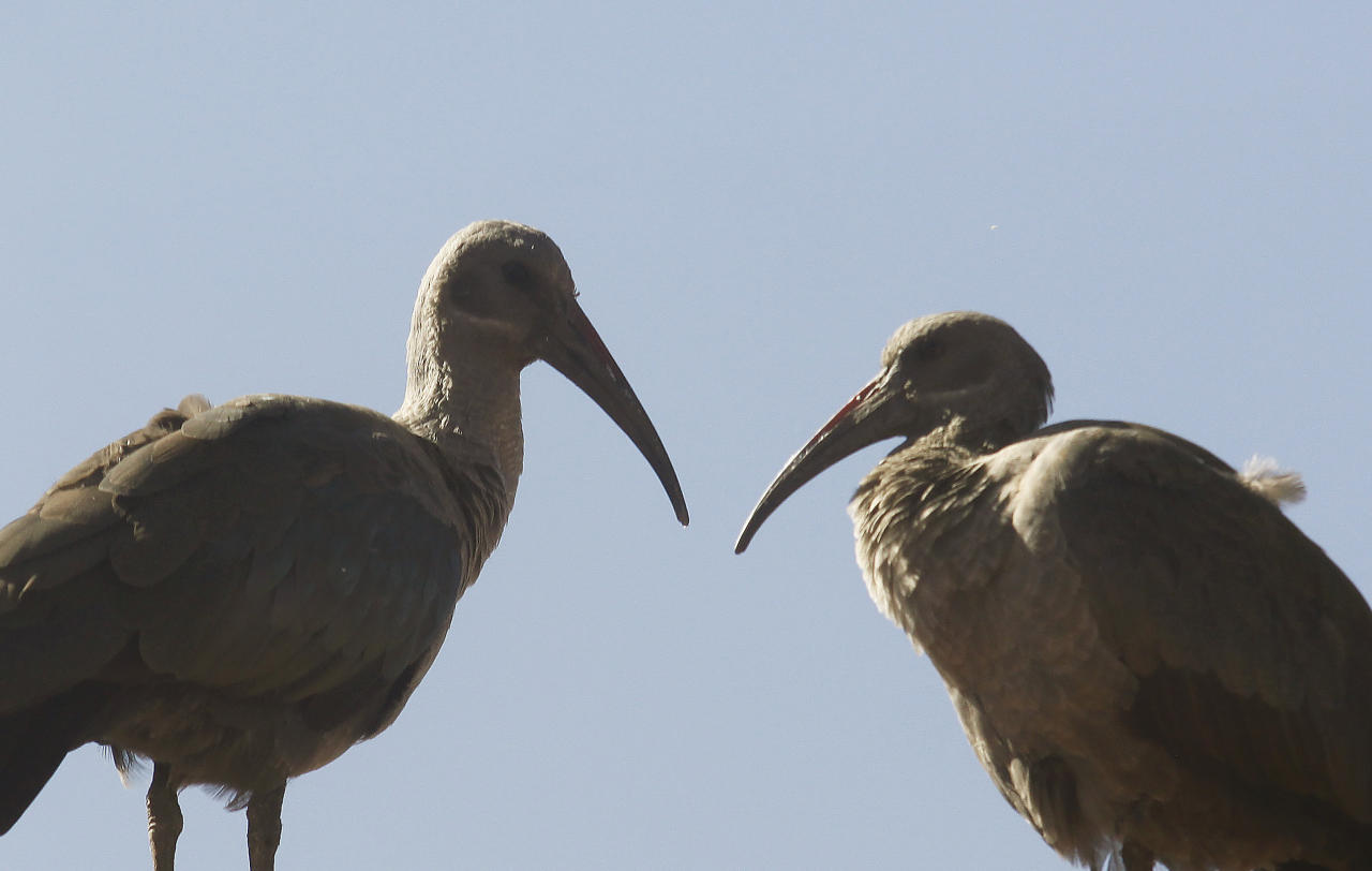 In this photo taken Thursday, June 6, 2013, a couple of Hadeda Ibis birds interact as they sit atop a roof of a Johannesburg suburban home. Pest, charming oddity or just background noise, the Hadeda ibis is a feathered phenomenon in suburban South Africa. Sometimes it swipes dog food meant for pets, splatters parked cars and driveways with droppings and yanks residents from sleep with jarring squawks at first light. (AP Photo/Denis Farrell)