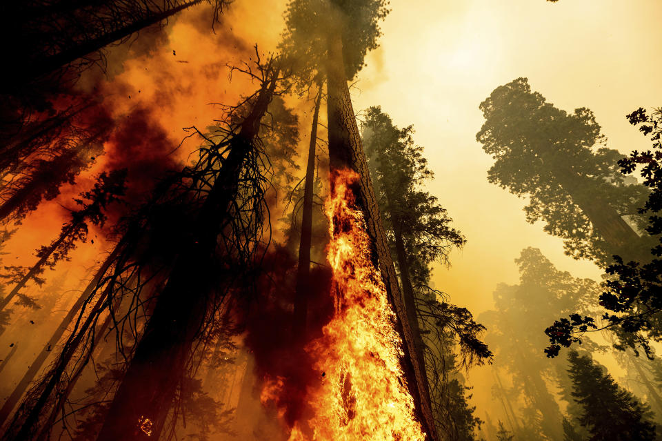 Flames lick up a sequoia tree as the Windy Fire burns in the Trail of 100 Giants grove in Sequoia National Forest, Calif., on Sunday, Sept. 19, 2021. (AP Photo/Noah Berger)