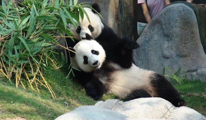 Giant pandas finally mate after park closed due to coronavirus