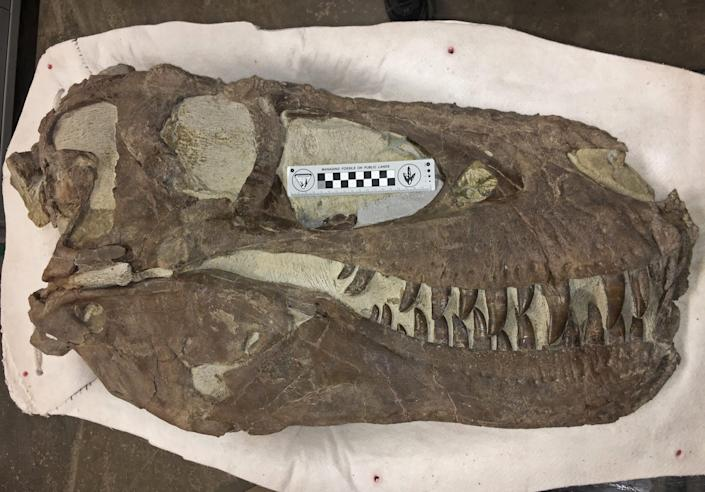 """""""Hollywood"""" specimen, same species as Teratophoneus, discovered approximately two miles north of the """"Rainbows and Unicorns Quarry"""" on Grand Staircase-Escalante National Monument on February 26, 2019. BLM photo courtesy of Dr. Alan Titus."""