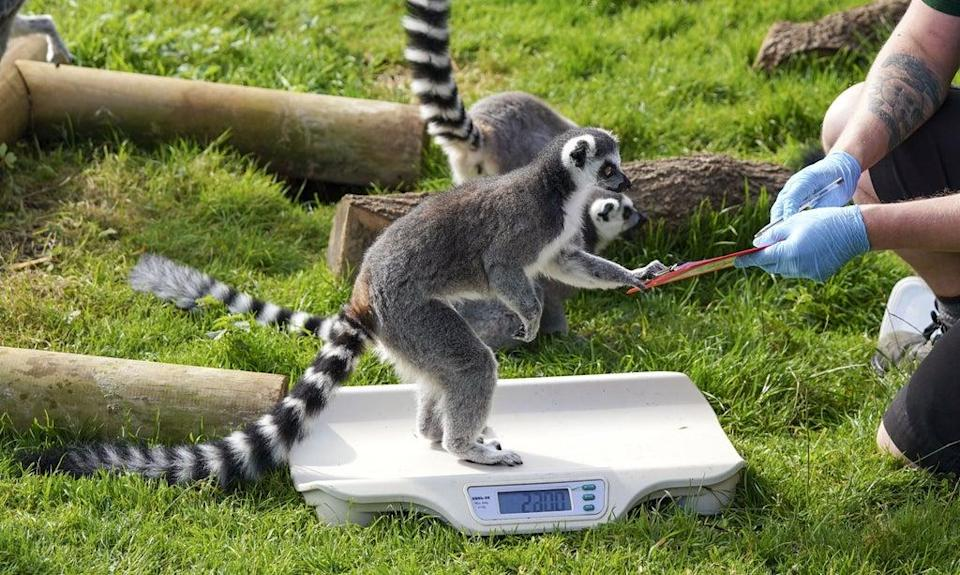 Ring-tailed lemurs assist with the weigh-in (Steve Parsons/PA) (PA Wire)