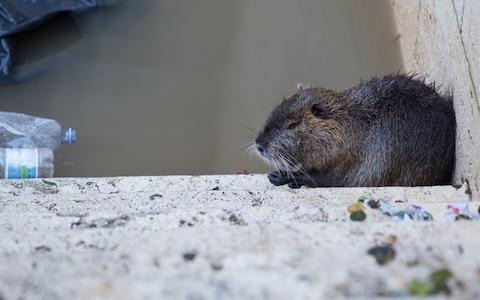 A coypu on steps leading down to the Tiber River in the centre of Rome - Credit: Matteo Nardone/Getty