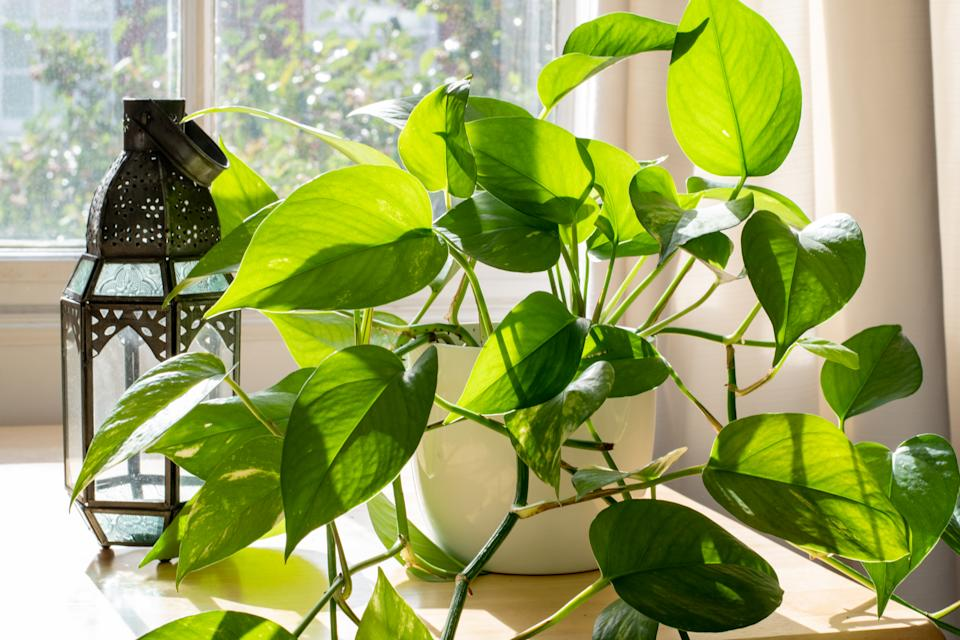 Devils Ivy houseplant next to a lantern and a window in a beautifully designed home interior.