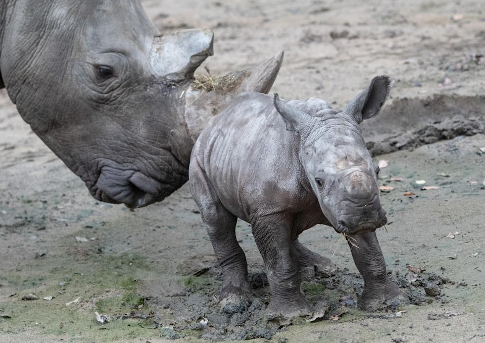 The Zurich Zoo has obtained a rare white rhino. (Bernd Thissen/picture alliance via Getty Images)