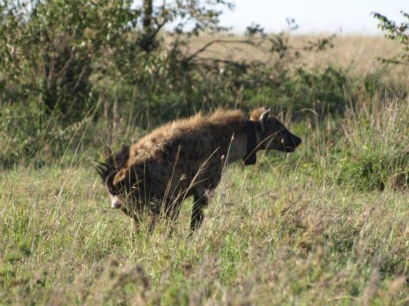 Bacteria Control Hyena Communication