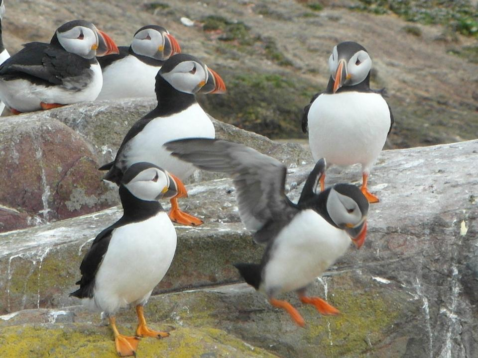 <p>More than 50,000 pairs of puffins make Northumberland's Farne Islands their home each summer</p> (James Litston)