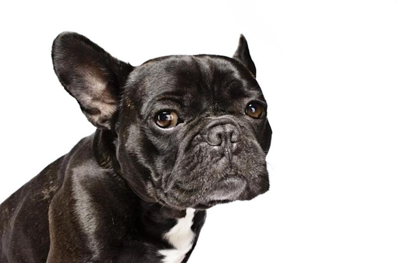 The dog was a French Bulldog believed to be 10 months old (stock photo). Photo: Getty