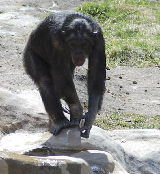 The 33-year-old chimpanzee, Santino, has a habit of sneaking up on visitors and hurling stone projectiles at them. Here, he is slowly moving toward visitors, with two projectiles in his left hand. (This image was taken 31 seconds before the thr