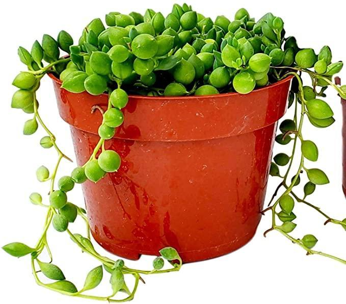 """<h2>Fat Plants San Diego Succulent Plant — String of Pearls <br></h2><br><strong>The Hype:</strong> 4 out of 5 stars and 1,532 reviews<br><br><strong>Plant Parents Say:</strong> """"I've ordered from this company many times, and they've never disappointed in the slightest. This plant is no exception: it's beautiful, incredibly healthy, even larger than anticipated, and arrived both in absolutely perfect condition and faster than expected, complete with a hefty disposable warmer packet to shield it from the extreme cold snap we're experiencing. I love it. Fat Plants is wonderful. I couldn't recommend them any more highly.""""<br><br><em>Shop</em> <a href=""""https://amzn.to/38eSyKI"""" rel=""""nofollow noopener"""" target=""""_blank"""" data-ylk=""""slk:Fat Plants San Diego"""" class=""""link rapid-noclick-resp""""><strong><em>Fat Plants San Diego</em></strong></a><br><br><strong>Fat Plants San Diego</strong> String Of Pearls Plant, $, available at <a href=""""https://amzn.to/3hmYLIu"""" rel=""""nofollow noopener"""" target=""""_blank"""" data-ylk=""""slk:Amazon"""" class=""""link rapid-noclick-resp"""">Amazon</a>"""
