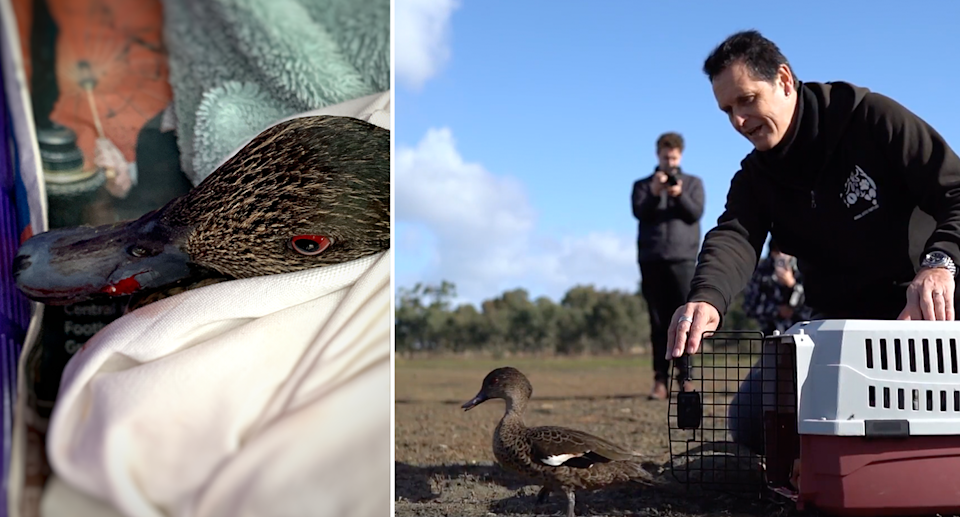Split screen. Close up of an injured duck. Andy Meddick releases the duck from a cage.