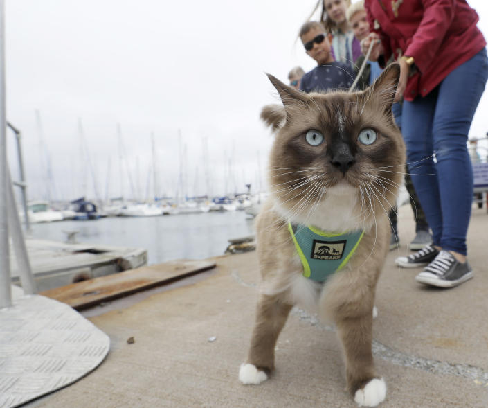 Visitors have taken their cat George as Climate change activist Greta Thunberg leaves the harbour in Plymouth, England, Wednesday, Aug. 14, 2019. The 16-year-old climate change activist who has inspired student protests around the world will leave Plymouth, England, bound for New York in a high-tech but low-comfort sailboat.(AP Photo/Kirsty Wigglesworth)
