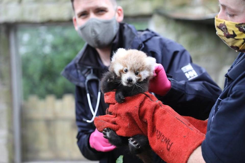 Ruby the red panda was born at Edinburgh Zoo in July (RZSS/PA)