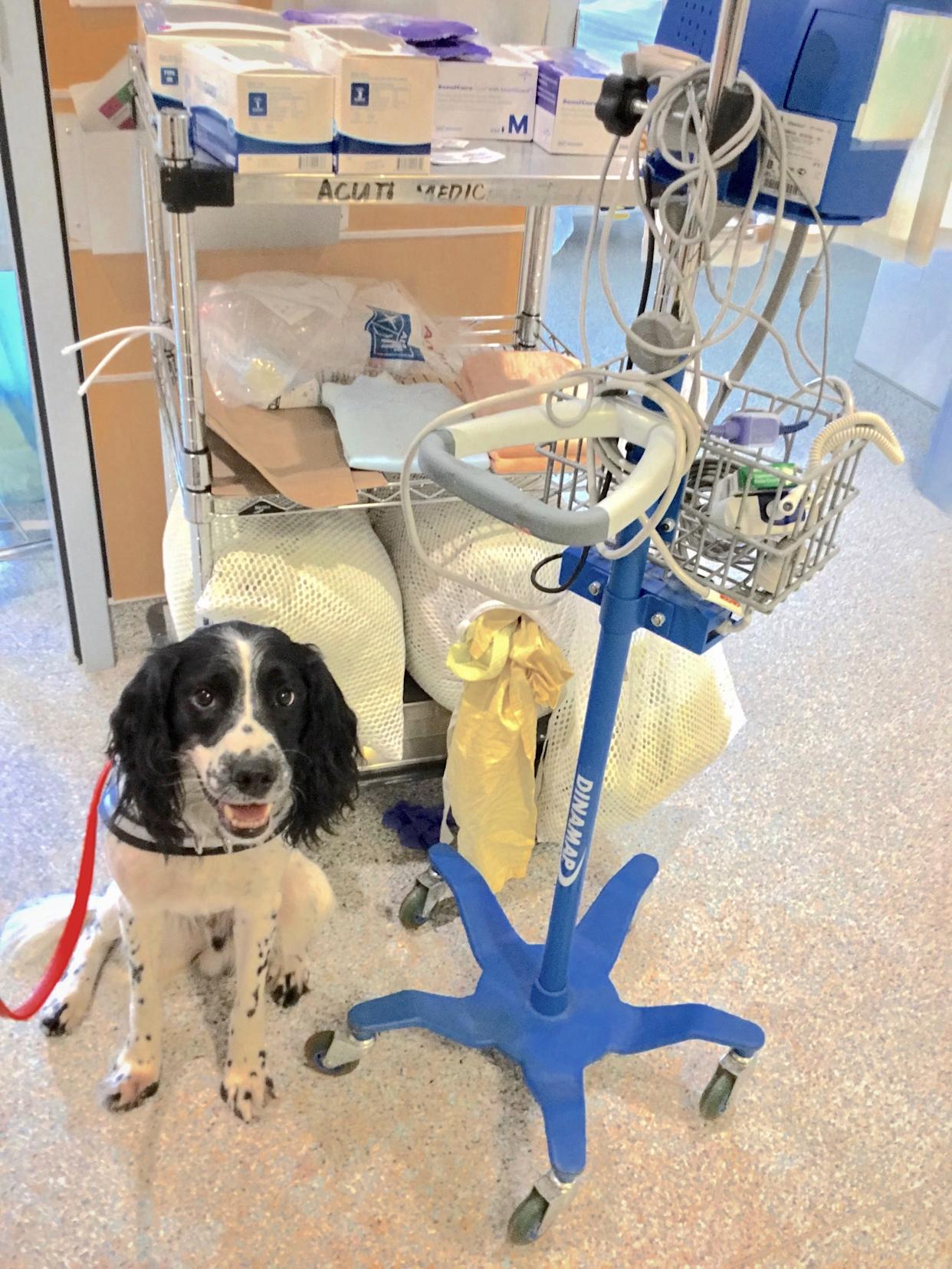 Angus, an English springer spaniel, sniffs out C. diff in a hospital.