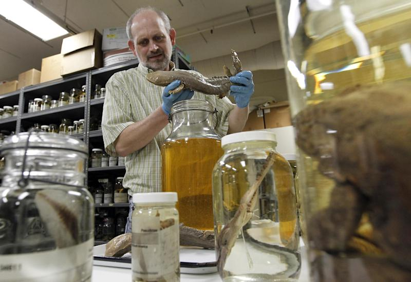 Ned S. Gilmore, collections manager of vertebrate zoology, shows a Hellbender salamander, in the collection at the Academy of Natural Sciences Friday, March 23, 2012 in Philadelphia. The Academy is celebrating its bicentennial by offering the general public some rare behind-the-scenes tours of their some 18 million specimens. . (AP Photo/Alex Brandon)