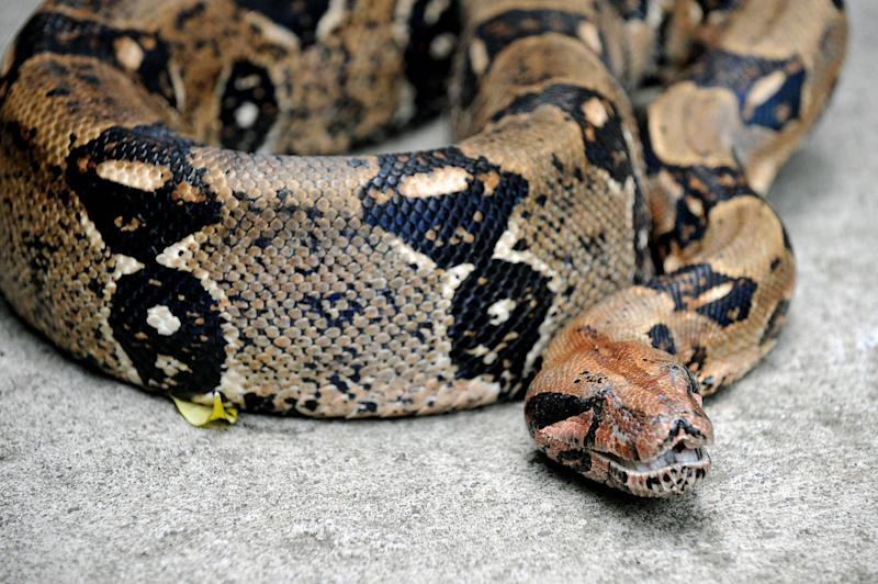 Picture of a boa constrictor, aa large snake not native to Australia.