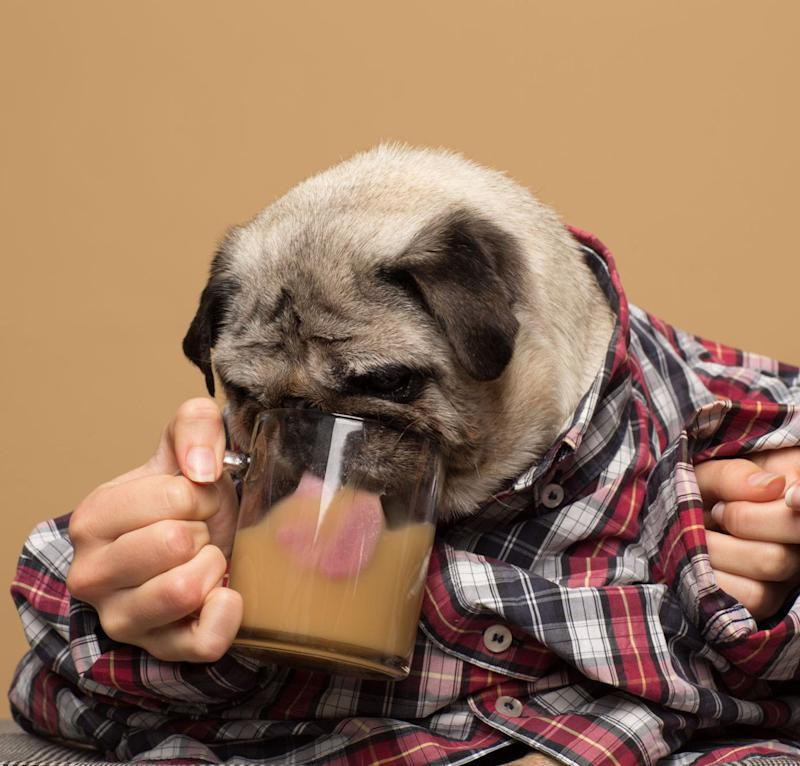 Ferdinando the pug poses for a Rooffee ad.