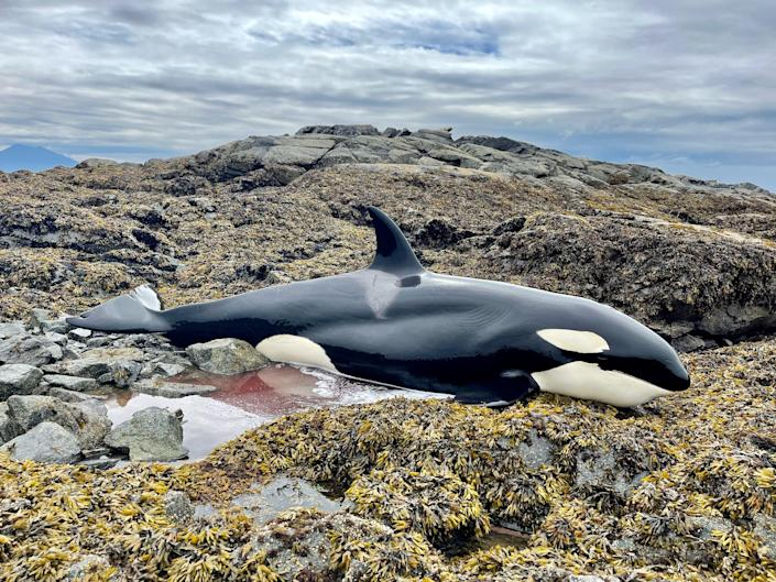 An orca laying on rugged rocks.