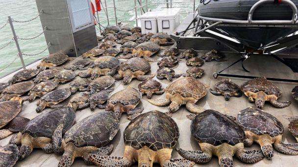 PHOTO: A handout photo  showa 141 sea turtles rescued from the frigid waters of the Brownsville Ship Channel and surrounding bays, abroad the PV Murchison, in Texas, Feb. 17, 2021. (Texas Game Warden via Shutterstock)