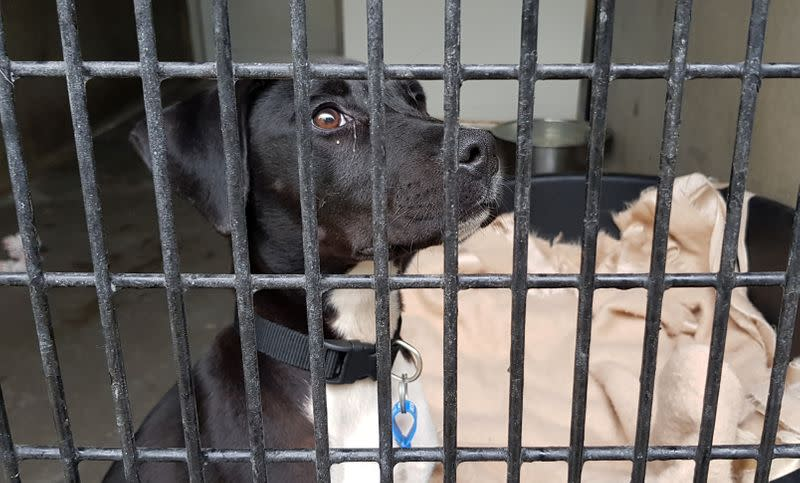 A dog sits in its enclosure at RSPCA NSW shelter in Sydney