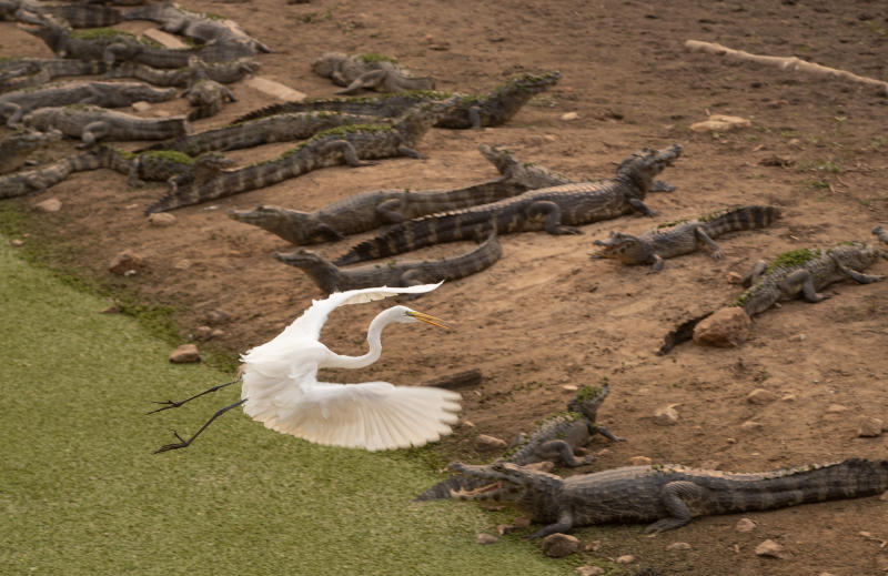 An egret flies over alligators on the banks of the Bento Gomes river whose waters are drying out, next to the Transpantaneira road at the Pantanal wetlands near Pocone, Mato Grosso state, Brazil, Monday, Sept. 14, 2020. A vast swath of the vital wetlands is burning in Brazil, sweeping across several national parks and obscuring the sun behind dense smoke. (AP Photo/Andre Penner)