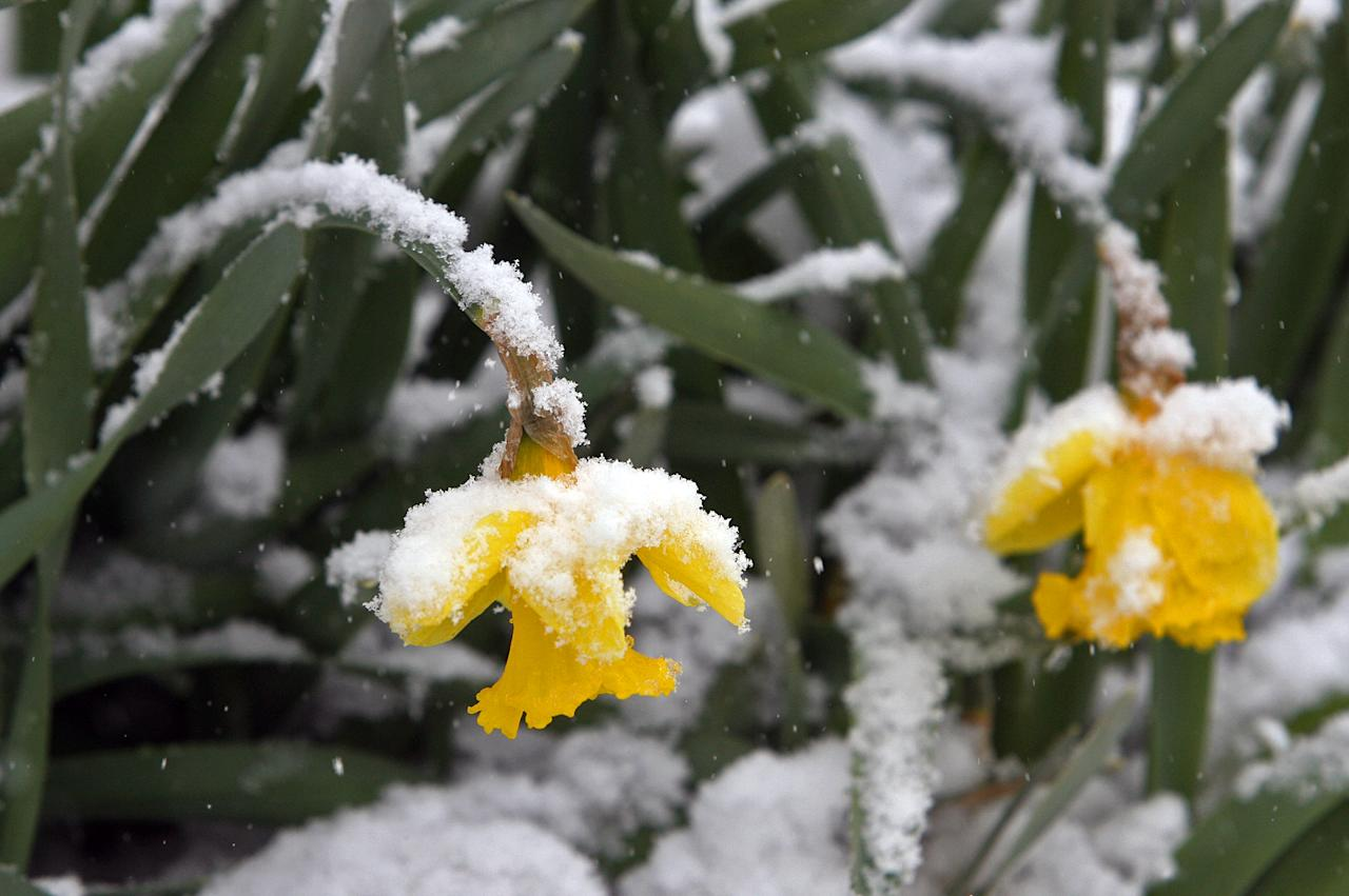Daffodils hang under the weight of snow near the Missouri History Museum in Forest Park on Sunday, March 24, 2013, in St. Louis. A storm dumped 7 to 9 inches of snow from eastern Kansas into central Missouri before tapering off this morning. (AP Photo/St. Louis Post-Dispatch, J.B. Forbes)