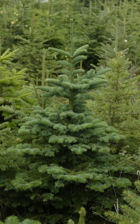 Noble fir Christmas tree - Credit: Daily Telegraph