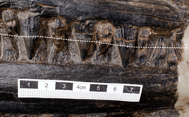 The ichthyosaur's teeth, with the broken white line indicating the approximate gum line of the upper jaw