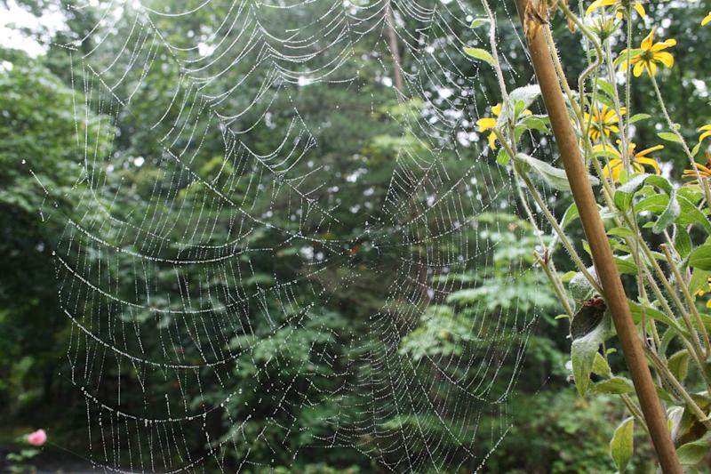 This Aug. 22, 2007 photo shows a spider's web in a residential garden in New Market, Va. Spiders may land on the creepy, crawly list for many people but they account for as much as 80 percent of all the predator control in home gardens. The payback is minimal -- food, water, shelter and easing off on harmful lawn and garden chemicals. (AP Photo/Dean Fosdick)