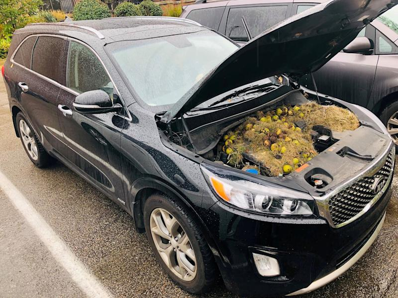 Walnuts and grass hidden by squirrels are seen under the hood of Chris and Holly Persic's car.