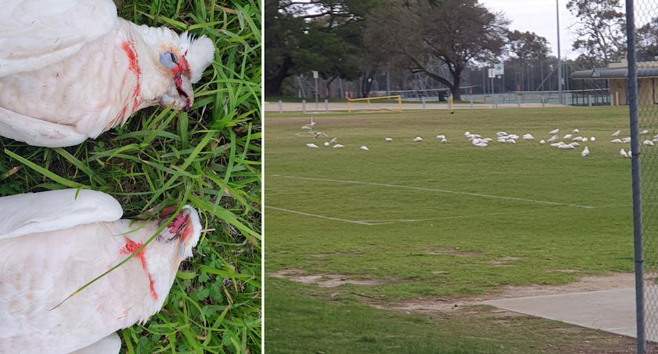 A number dead long-billed corellas dead at One Tree Hill Primary School, Adelaide. They dropped dead in front of kids. It's believed they've been poisoned.