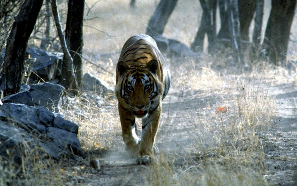 Tiger Watch in Ranthambore National Park