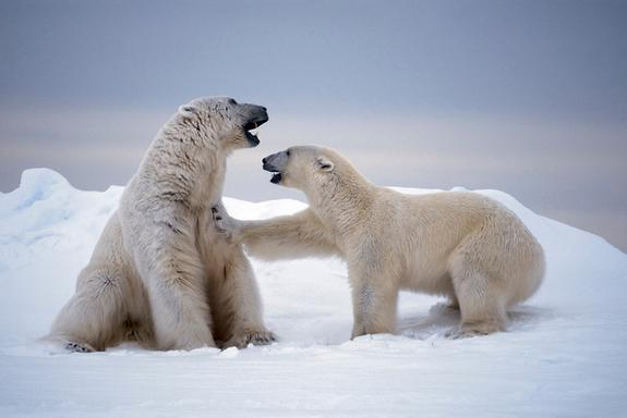 The mystery of polar bears' origins has long puzzled scientists. While some researchers proposed they diverged recently, others have suggested that brown bears and polar bears split off at least 4 million years ago