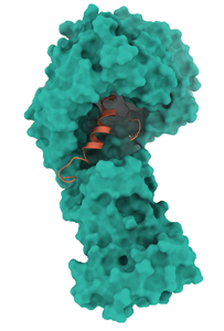Structure of SARS-CoV-2 Orf9b in complex with human Tom70. Teal: surface model of human Tom70; orange: ribbon model of SARS-CoV-2 Orf9b. Structure was determined by the QBI Coronavirus Research Group Structural Biology Consortium (QCRG SBC).