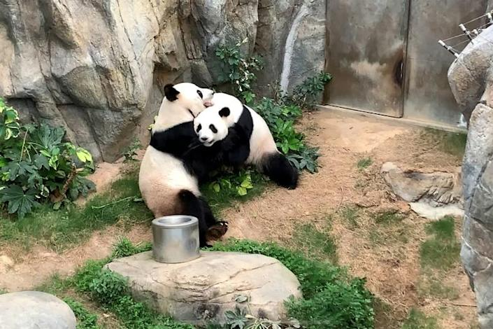 Like half the planet, Ying Ying and Le Le have only really had each other for company since coronavirus-caused lockdowns shut off the flow of guests to their themepark pad (AFP Photo/Handout)