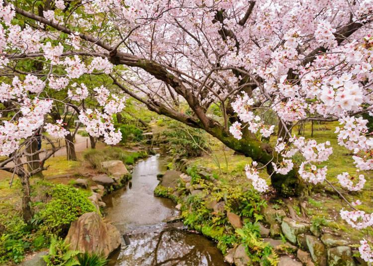 The cherry blossoms in full bloom in Gokuraku Jodo garden leave a strong impression