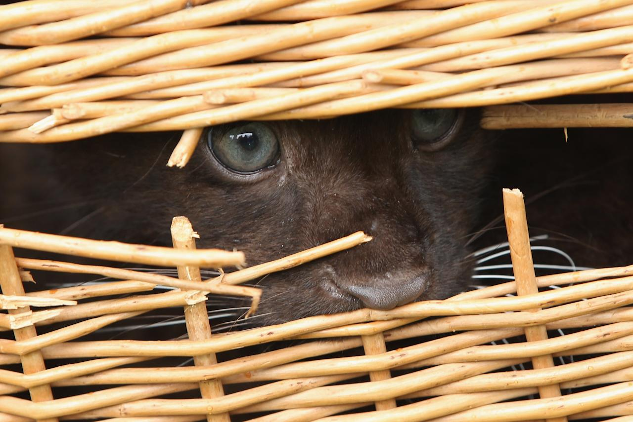 BERLIN, GERMANY - JULY 13:  A twin baby panther peeks out from its basket while being presented to the media with its sibling at Tierpark Berlin zoo on July 13, 2012 in Berlin, Germany. The two panthers were born in captivity on April 26.  (Photo by Sean Gallup/Getty Images)
