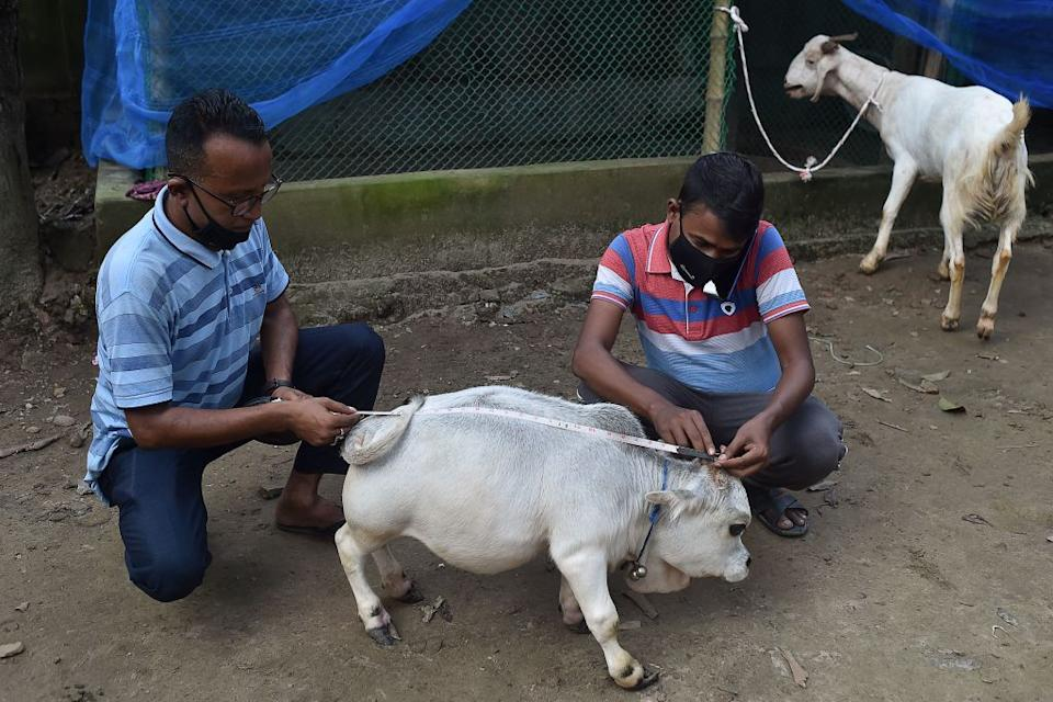 People measure a dwarf cow named Rani.