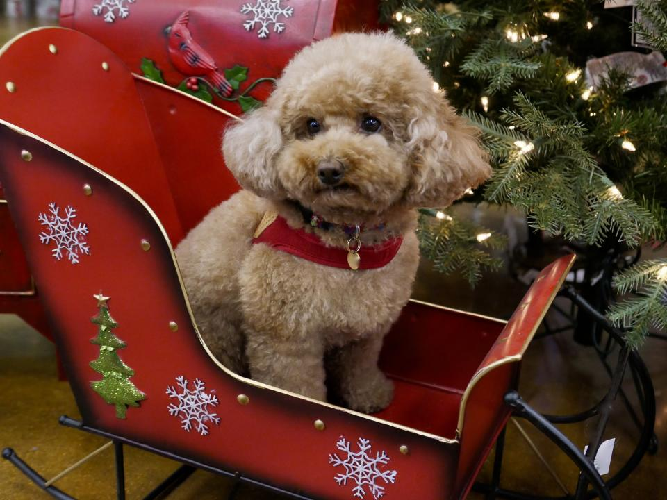 Cute Poodles posing in front of Christmas Decor