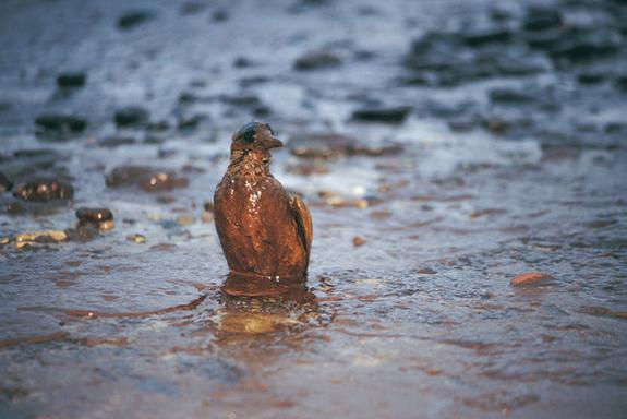 An oil covered bird on an oil covered shore after the BP catastrophe in 2010.