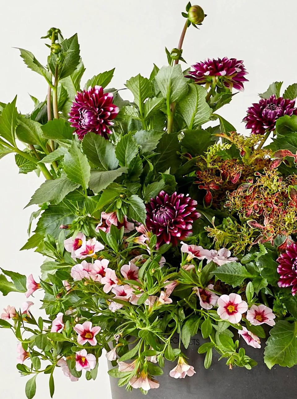 """Moms busy in their garden right now will be thrilled to receive this growing kit of purple and white dahlias, pink calibrachoas, and coleus. These outdoor blooms are perfect for a sunny spot on her porch or in her backyard, and you can add flowering pots and soil to your order. Bloomscape kits are shipped nationwide with two-day shipping. $25, Purple and White Dahlia, Pink Calibrachoa, and Coleus Combination Kit. <a href=""""https://bloomscape.com/product/purple-dahlia-pink-calibrachoa/"""" rel=""""nofollow noopener"""" target=""""_blank"""" data-ylk=""""slk:Get it now!"""" class=""""link rapid-noclick-resp"""">Get it now!</a>"""