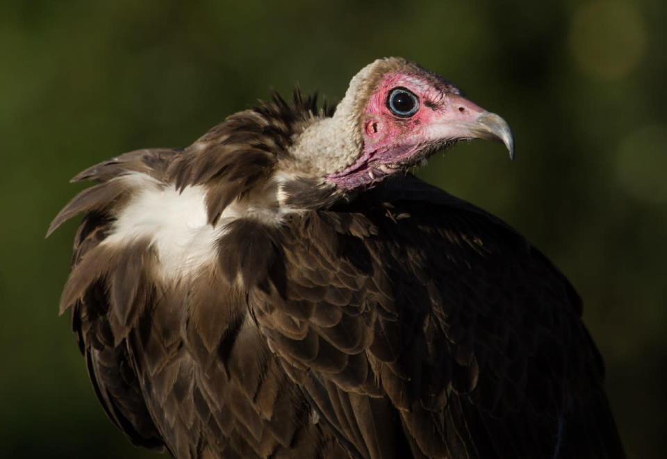 This undated photo provided by Evan R. Buechley in August 2021 shows a hooded vulture in Ethiopia. An analysis of data from the International Union for the Conservation of Nature and BirdLife International released on Monday, Aug. 30, 2021 found that 30% of 557 raptor species worldwide are considered near threatened, vulnerable or endangered. Eighteen species are critically endangered, including the hooded vulture, researchers found. (Evan R. Buechley via AP)