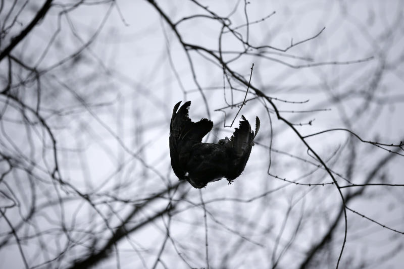 A black vulture carcass is hoisted up in a tree in Bridgewater, N.J., Monday, March 11, 2013, by United States Department of Agriculture Wildlife workers in a tried-and-true method of driving away flocks of damaging buzzards. (AP Photo/Mel Evans)