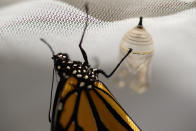 A monarch butterfly hangs near its chrysalis soon after emerging in Washington, Sunday, June 2, 2019. The familiar monarch is now under consideration for listing under the U.S. Endangered Species Act. (AP Photo/Carolyn Kaster)
