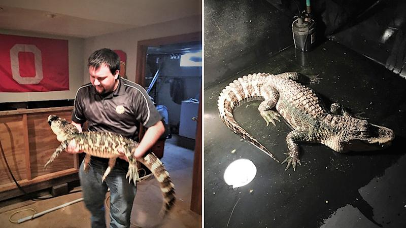 Paramedics were called to home in Ohio where they found an alligator in the basement. Pictured is the animal being held by a man on the left and in shallow waters on the right.