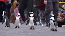 """<p>Filmed in a South African town, this docuseries follows a group of endangered penguins as they flock together, find mates, and interact with their surrounding communities.</p> <p>Watch <strong><a href=""""https://www.netflix.com/title/81214135"""" class=""""link rapid-noclick-resp"""" rel=""""nofollow noopener"""" target=""""_blank"""" data-ylk=""""slk:Penguin Town"""">Penguin Town</a></strong> on Netflix now.</p>"""