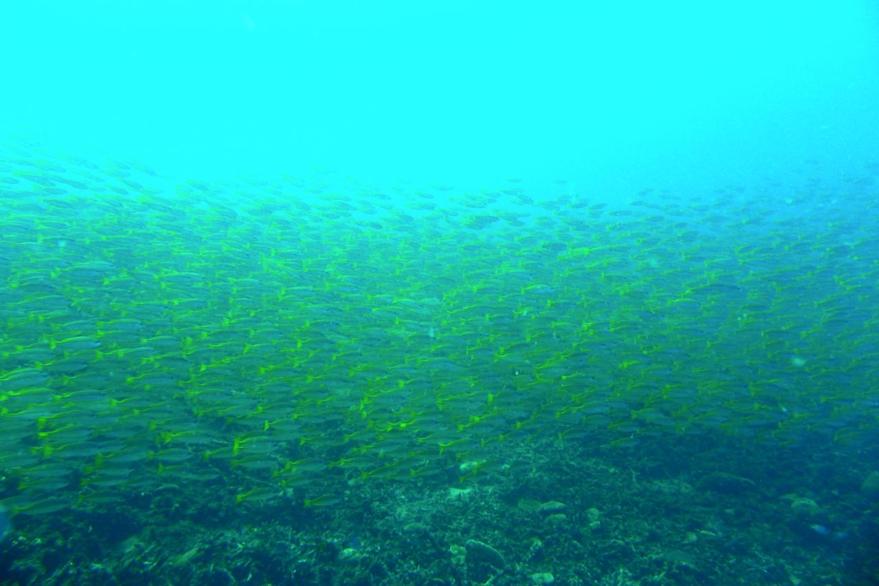 A school of Yellowtails welcome divers at the Terumbu Kili dive site in Pulau Redang, Malaysia.