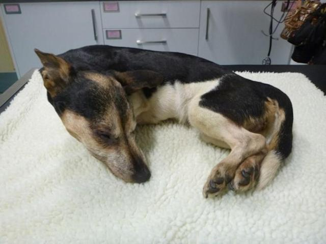 The Jack Russel-Terrier cross was discovered loosely wrapped in a coat and freezing cold by a dog walker in Clayton Vale park (RSPCA)