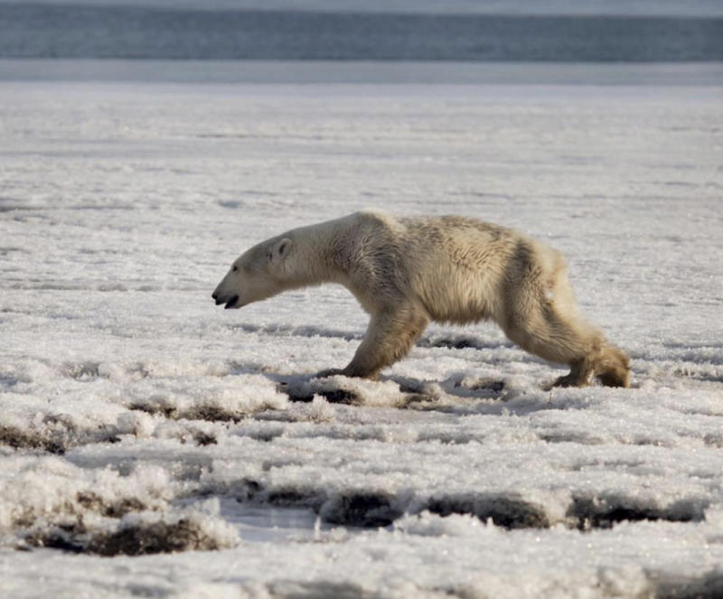 In this photo taken on Tuesday, April 16, 2019, a polar walks on ice near in Tilichiki, about 936 kilometers (585 miles) north of Petropavlosk Kamchatsky, Russia.  Residents of a village on Russia's far eastern Kamchatka Peninsula were stunned when they saw a polar bear climbing on the shore hundreds of kilometers (miles) away from its usual habitat. Russian media say the animal, which looked exhausted, prowled the village searching for food. (Alina Ukolova via AP)