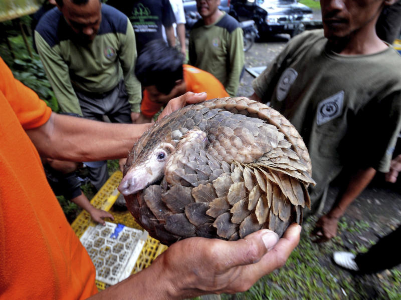 FILE - In this Friday, March 1, 2013 file photo, a pangolin, one of 128 anteaters confiscated by customs officers from a smuggler's boat off Sumatra island as it was heading for Malaysia in the previous week, curls into a ball as a Natural Resources Conservation Agency (BKSDA) official holds it up before releasing it into the wild at a conservation forest in Sibolangit, North Sumatra, Indonesia. A Chinese vessel that ran into a protected coral reef in the southwestern Philippines held evidence of even more environmental destruction inside: more than 10,000 kilograms (22,000 pounds) of meat from a protected species, the pangolin or scaly anteater. (AP Photo/Jefri Tarigan, File)