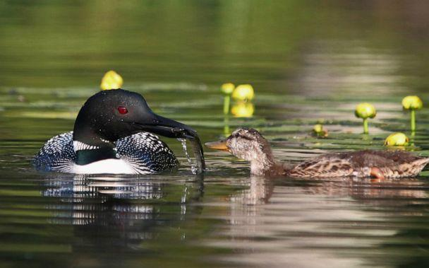 PHOTO: The loons have also taught the duckling how to dive for food and eat from their mouths, which is virtually unheard of for mallards. (Courtesy Elaina Lomery)
